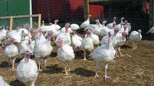 guide-on-how-to-start-turkey-farming-business-in-nigeria