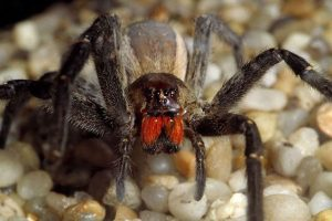Top 10 Biggest Spiders in The World + Pictures - Nigerian Infopedia