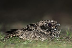 common-poorwill