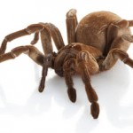 goliath-bird-eating-tarantula