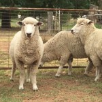 sheep-farming-business-in-nigeria